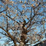 3月25日(水曜日)花は咲けど自粛要請