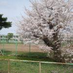 4月6日(火曜日)桜満開